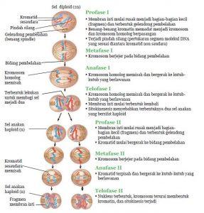 Fase meiosis