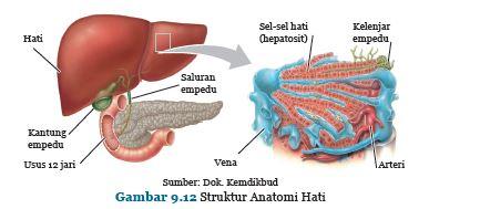 anatomi hati