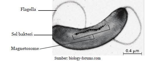 Magnetotactic Bacteria